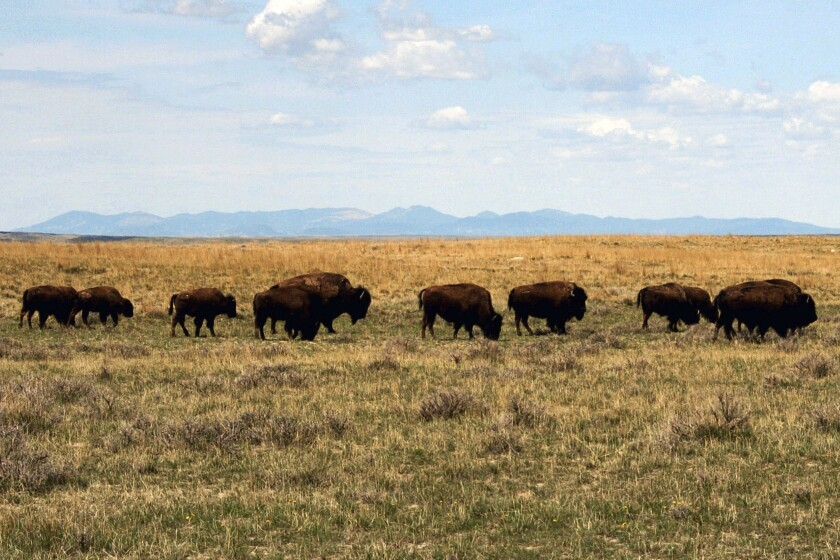 FILE - In this April 25, 2012, file photo, a herd of bison move through land controlled by the American Prairie Reserve south of Malta, Mont. The group announced Tuesday, Sept. 24, 2019 that it is scaling back its request for bison grazing on public lands following strong opposition from surrounding landowners. (AP Photo/Matt Brown, File)