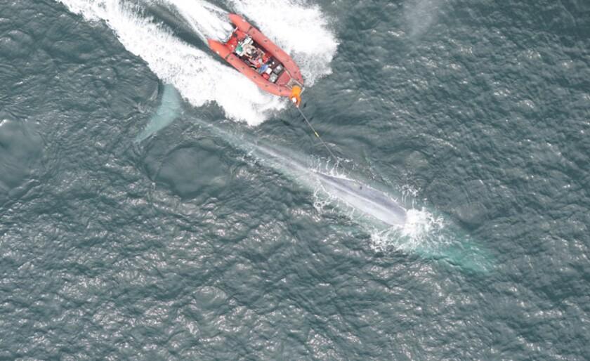 whale-tag1_0.jpg