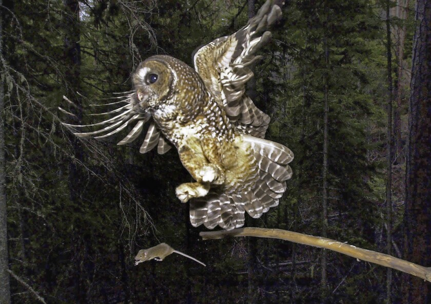 FILE - In this May 8, 2003, file photo, a northern spotted owl flies after an elusive mouse jumping off the end of a stick in the Deschutes National Forest near Camp Sherman, Ore. The Biden administration said Friday, June 4, 2021, it is canceling or reviewing a host of actions by the Trump administration to roll back protections for endangered or threatened species, with a goal of strengthening a landmark law while addressing climate change. Under Trump, officials rolled back protections for the northern spotted owl, gray wolves and other species, actions that President Joe Biden has vowed to review (AP Photo/Don Ryan, File)