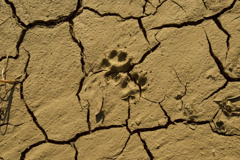 An animal's footprint is molded into dry, cracked earth in a dry riverbed near a Castaic Lake bridge.