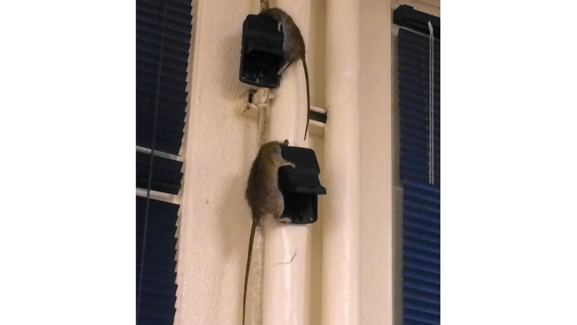This photo, taken at about 5:40 a.m. Thursday, shows two dead rats dangling from snap traps on a wall in teacher Andres Dominguez's classroom at Newport Harbor High School.