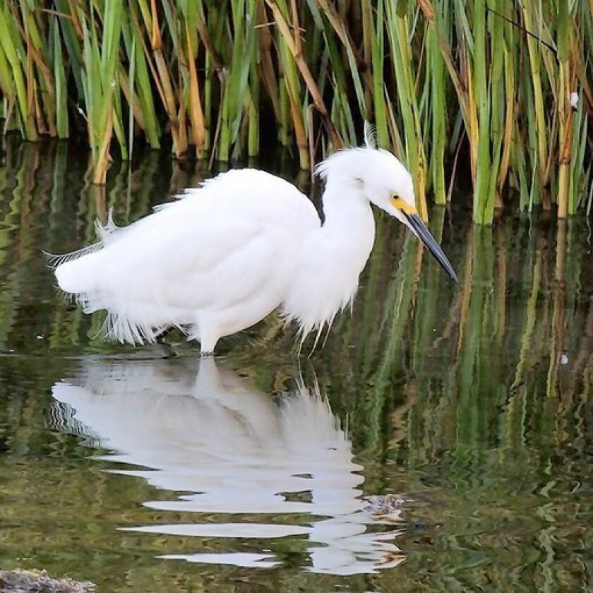This snowy egret fishing at Bolsa Chica is an iconic image from Huntington Beach. There are many others, including the vibrant surfing and skateboarding scene.