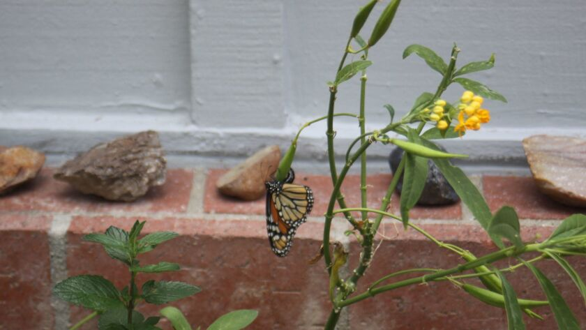 A Monarch Butterfly rests on some milkweed.