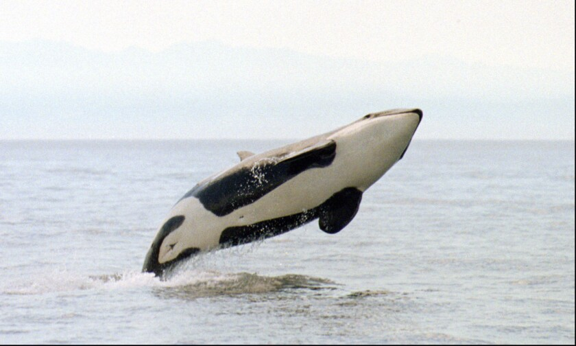 Five great places to see killer whales in the wild - Los