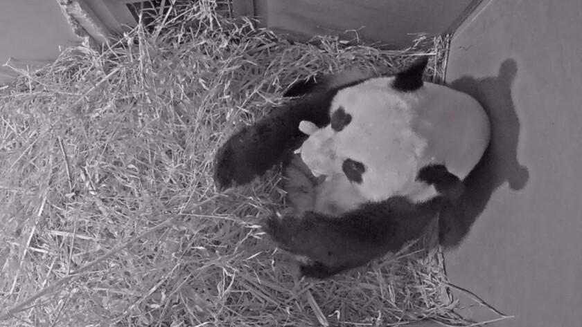 Netherlands Panda Cub