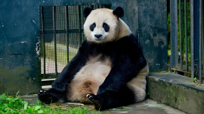 Cao Cao, one of the most important pandas in China's efforts to save pandas, is part of a key projec