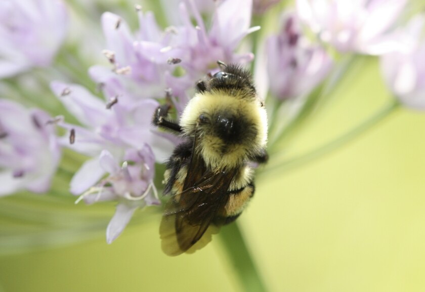A rusty patched bumblebee in Minnesota.