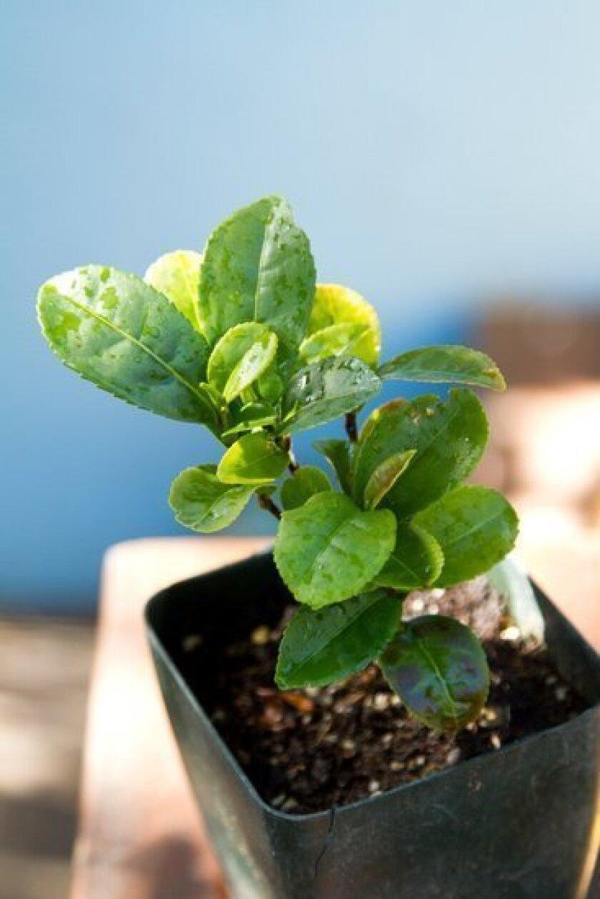 A young tea plant waits for a buyer at Nuccio's Nurseries in Altadena.