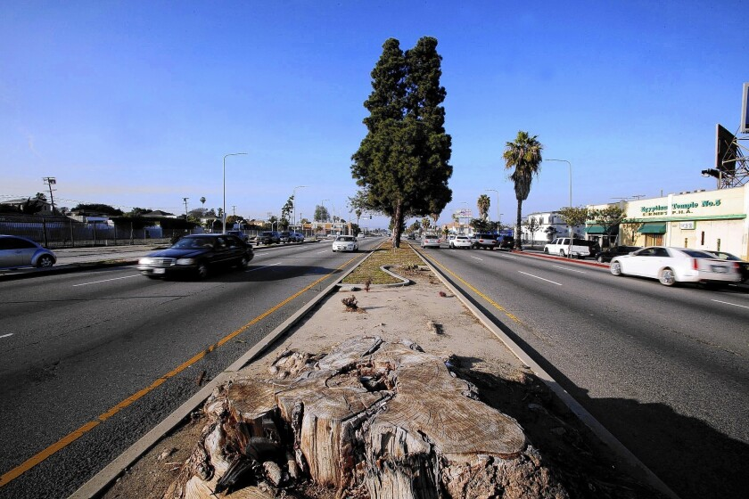 A tree stump fills part of the median on Crenshaw Boulevard. So far, just 10 new trees have been planted in vacant spots along the thoroughfare. Any beyond that, officials said, would have to be removed again during light-rail construction.