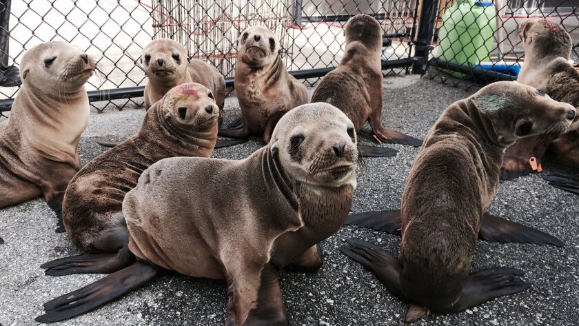 Percevero, foreground, is at a Northern California rehabilitation center after his rescue Feb. 12.