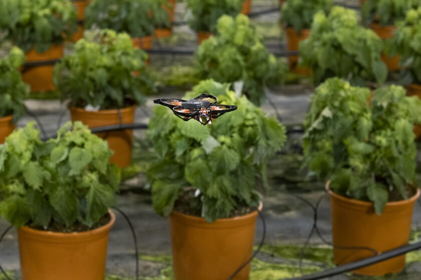 A moth-killing drone hovers over crops in a green house in Monster, Netherlands, Thursday, Feb. 25, 2021. A Dutch startup is using drones to kill moths in midair as a way of protecting valuable crops in greenhouses that are damaged by caterpillars. PATS Indoor Drone Solutions emerged from the work of a group of students looking for ways to kill mosquitos in their dorm rooms. The drones themselves are very basic, but they are steered by smart technology and special cameras that scan the airspace in greenhouses. When the cameras detect a moth, a drone is set on a collision course with the bug, destroying the bug with its rotors. (AP Photo/Mike Corder)