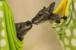 Wallaby joeys growing up at San Diego Zoo Safari Park