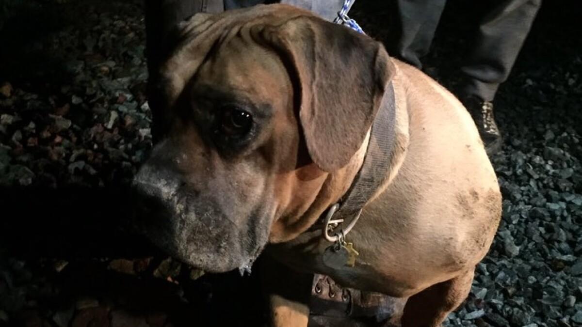 BULLMASTIFF Named Set Of 6 Dog Photo Trade Cards Bull Mastiff