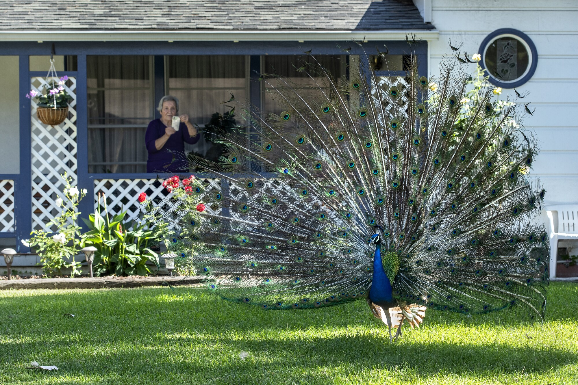 A woman on her front porch photographs a peacock in her yard