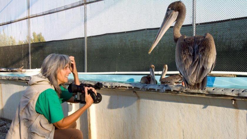 "Filmmaker Judy Irving has a close encounter with a California brown pelican named Gigi in ""Pelican Dreams."""