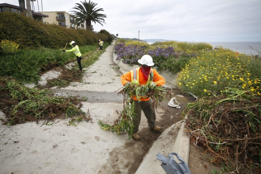 Workers clear ice plants at a stormwater drain near 6th Street in Del Mar on May 11, 2020. The latest Del Mar bluff stabilization project has begun on the east side of the tracks in the area.