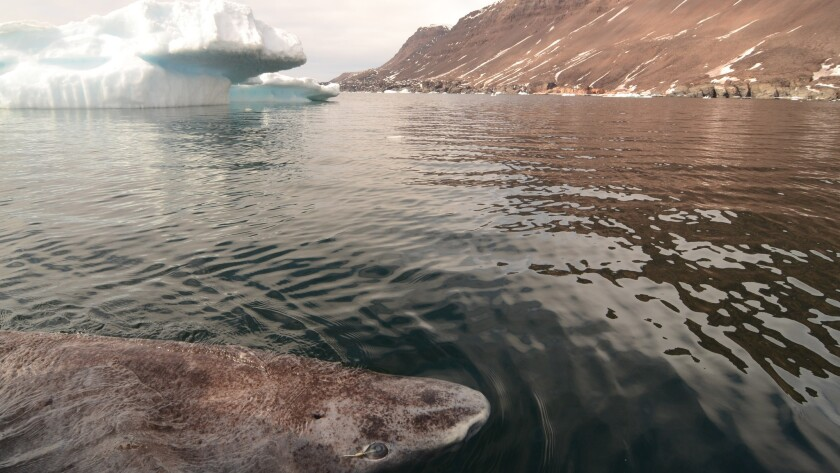 A Greenland shark in the icy waters of Disko Bay off the coast of western Greenland.