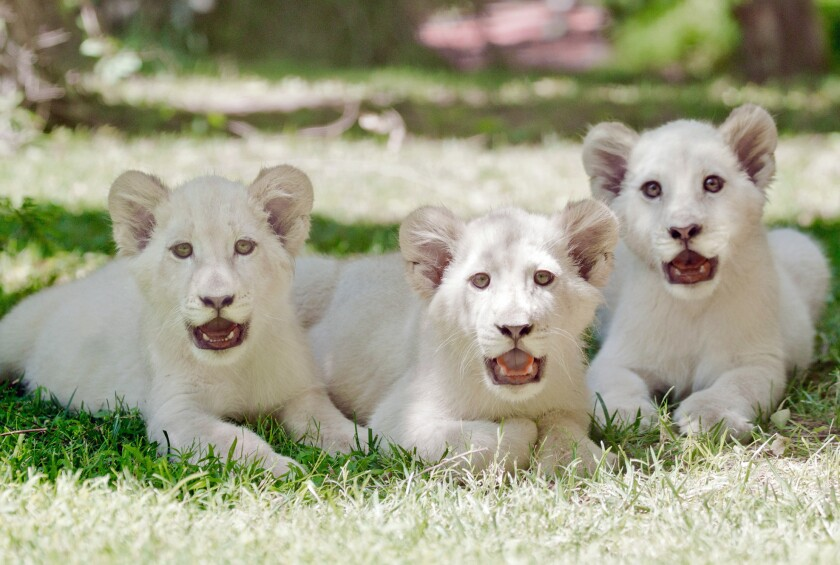 White lion cubs, from left, Madiba, Freedom and Timba-Masai strike a pose. The winsome threesome are the newest residents of the Secret Garden at the Mirage in Las Vegas.