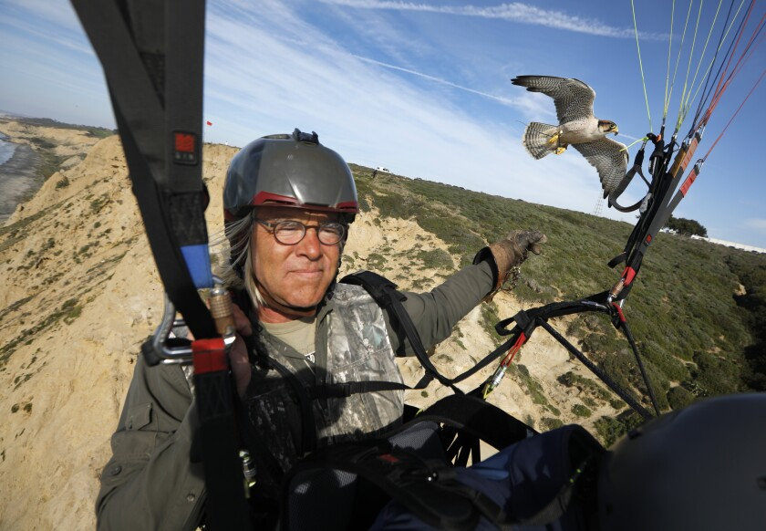 David Metzgar flies a paraglider as his lanner falcon Sophia follows in La Jolla on Jan.14, 2020. Metzgar runs Total Raptor Experience, where he teaches (on land and air) about falcons, hawks and owls. Guests can also fly in a paraglider as his lanner falcon fly along side them.