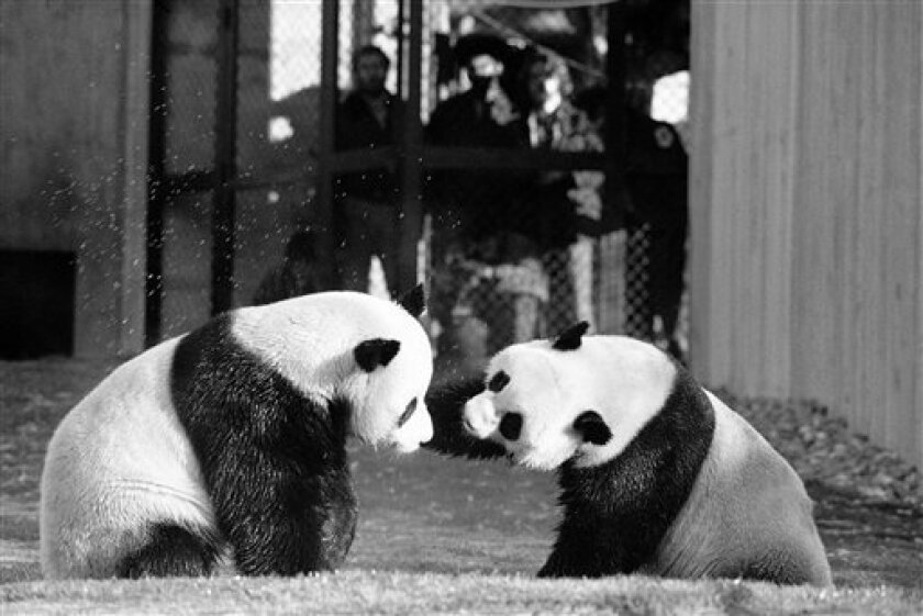 FILE - In this April 20, 1974 black-and-white file photo, The National Zoo's giant pandas, Ling-Ling and Hsing-Hsing  play in their yard in Washington.  The National Zoo is celebrating 40 years of pandas. Monday was the 40th anniversary of the day pandas Hsing-Hsing and Ling-Ling landed at Andrews
