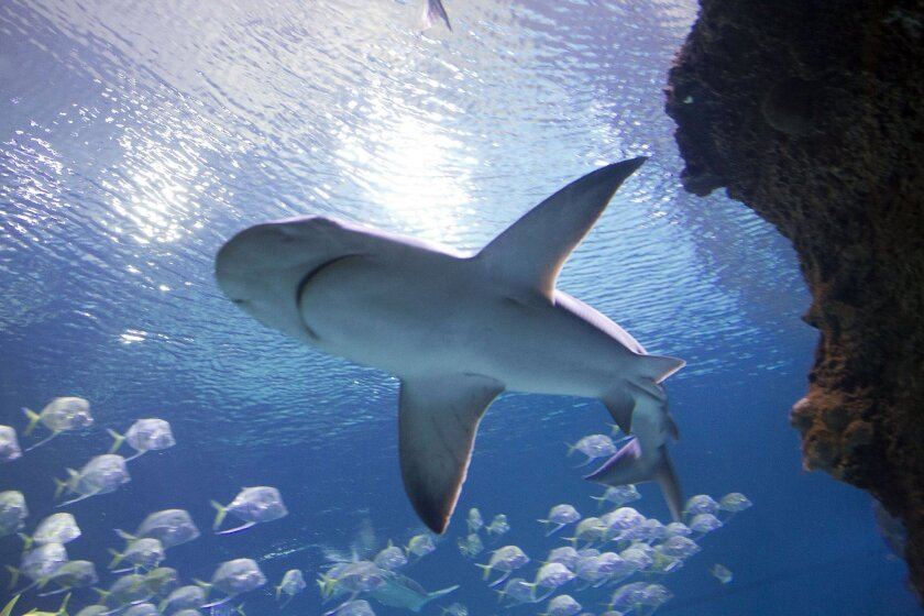 A shark swims in a 1.3 million gallon exhibit in Shark Reef Aquariium at Mandalay Bay in Las Vegas. Qualified divers can hop in the tanks under the aquarium's Dive With Sharks program.