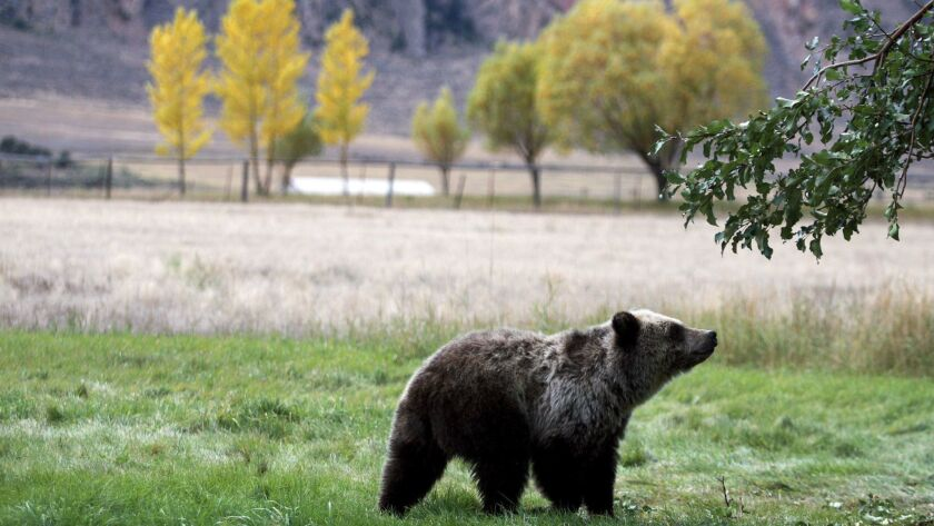 FILE - In this Sept. 25, 2013, file photo, a grizzly bear cub searches for fallen fruit beneath an a