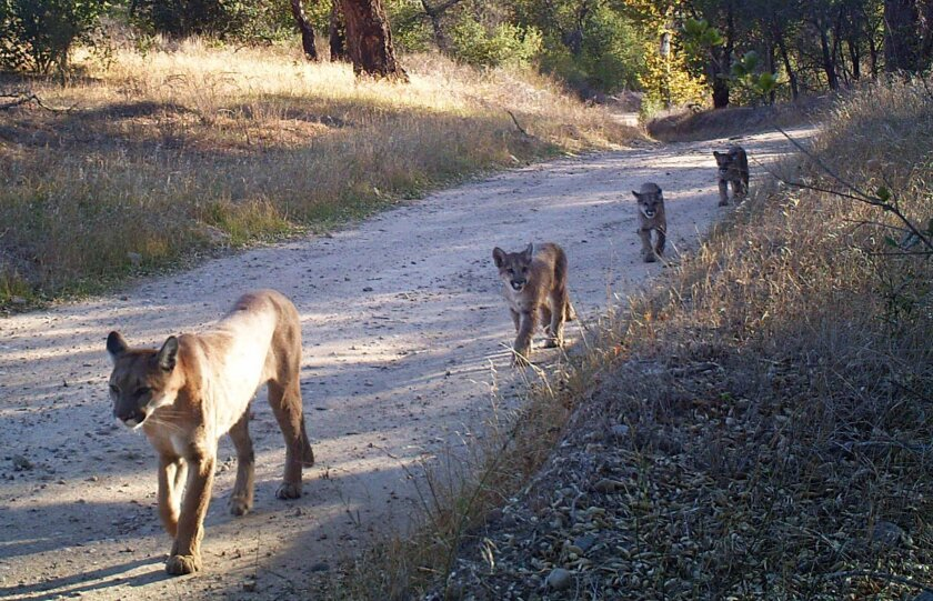 "Cougars in the Santa Monica and Santa Ana mountains are poised to enter an ""extinction vortex"" and could disappear from those areas in the next 50 years, new research says. Here, an adult mountain lion leads three youths along a truck trail in the Santa Anas in 2014."