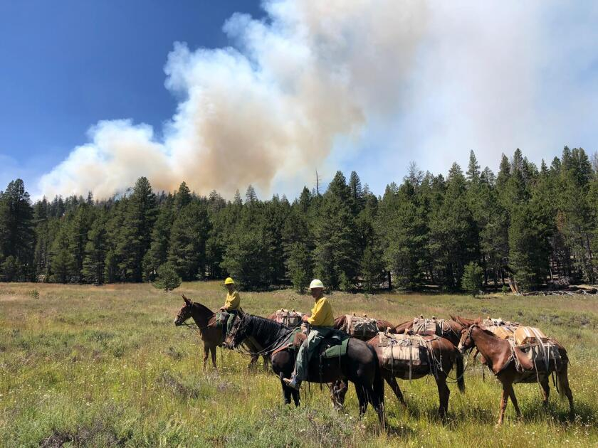 Packing mules traveling to the fireline in the Cow fire in Inyo National Forest