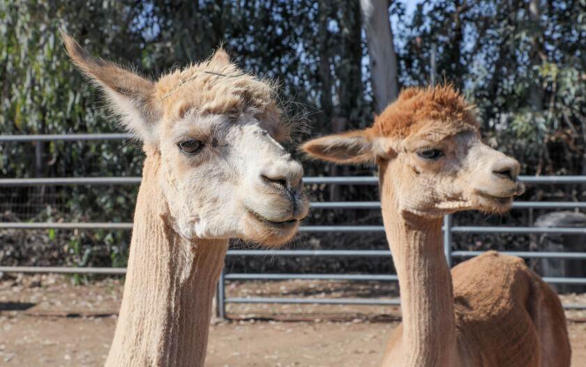 Alpacas named Einstein, left, and Bubba, at right, in the backyard of Kelly Thor and Ryan Jimenez.