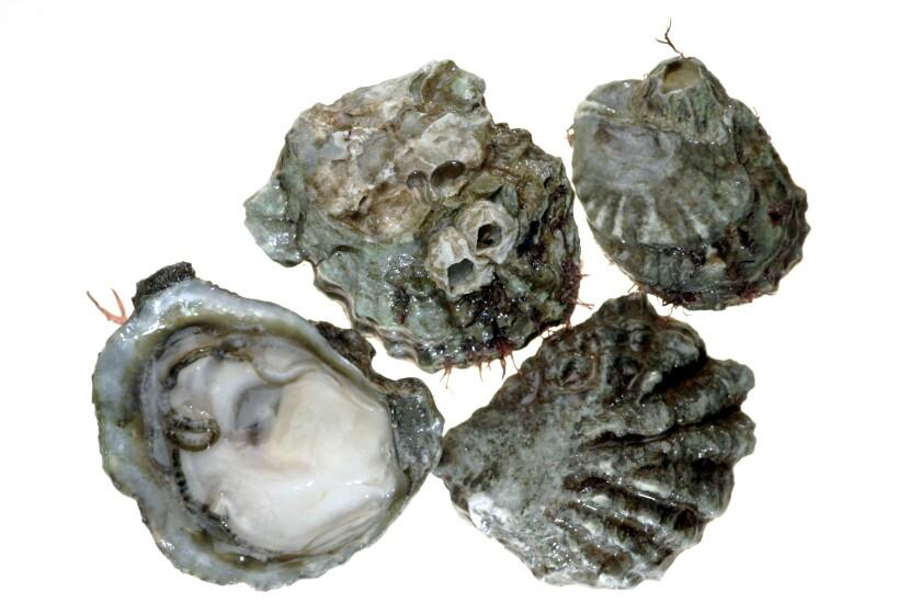 Olympia oysters, Ostrea lurida, from Washington state.