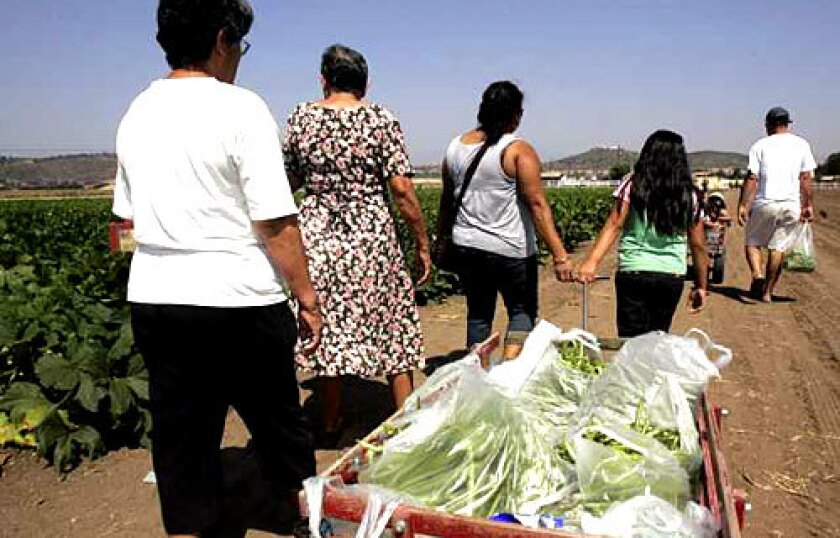 LOADED UP: The Rivas family with a cart full of green beans they picked at Underwood Family Farms in Moorpark.