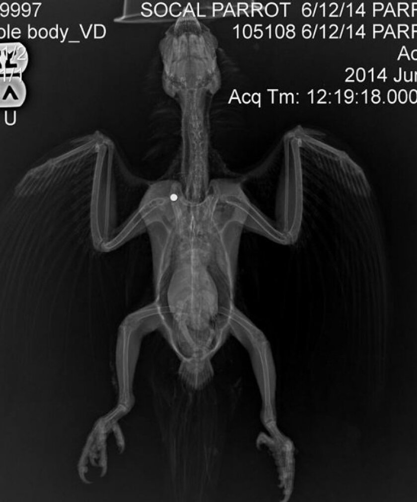 This x-ray-shows the pellet that was deeply lodged in the parrot's body.