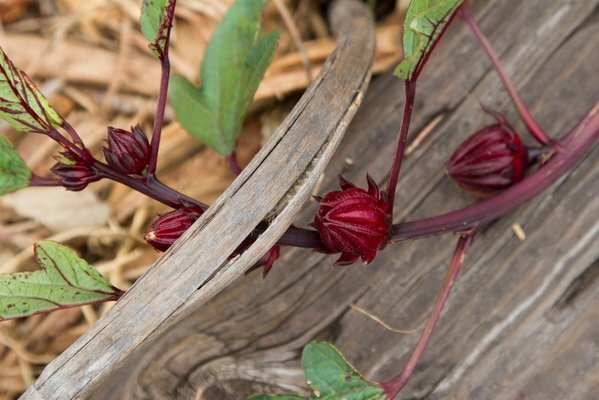 The vermillion-colored leaves of roselle.