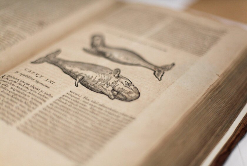 "An image of whales from a rare book on display at the San Diego Natural History Museum titled ""Historia Naturae"" by Maxime Peregrinae from 1635 describing plants and animals from the New World."