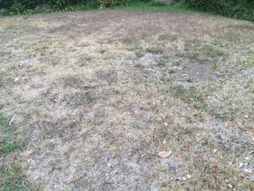 New drought-acceptable landscaping option (dead lawn)