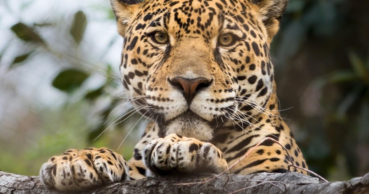 Setelah harimau di New York terjangkit coronavirus, L. A. Zoo adalah mengambil tindakan pencegahan ekstra
