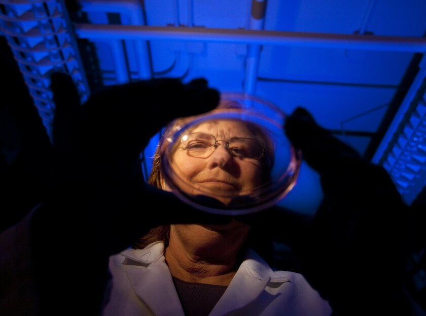 Jeanne Loring holds a petri dish with induced pluripotent stem cells from a Parkinson's patient.