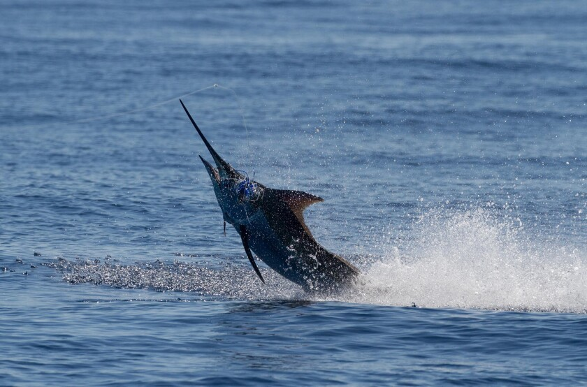 The 466-pound marlin hauled in by the Stella June crew.