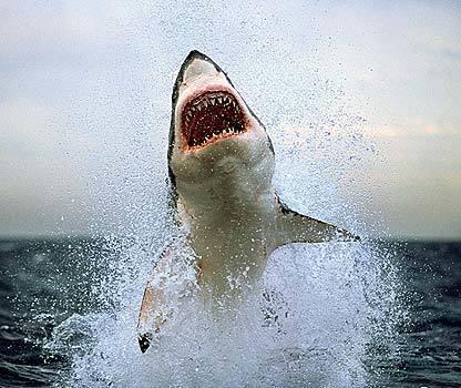 Great white shark off Australia
