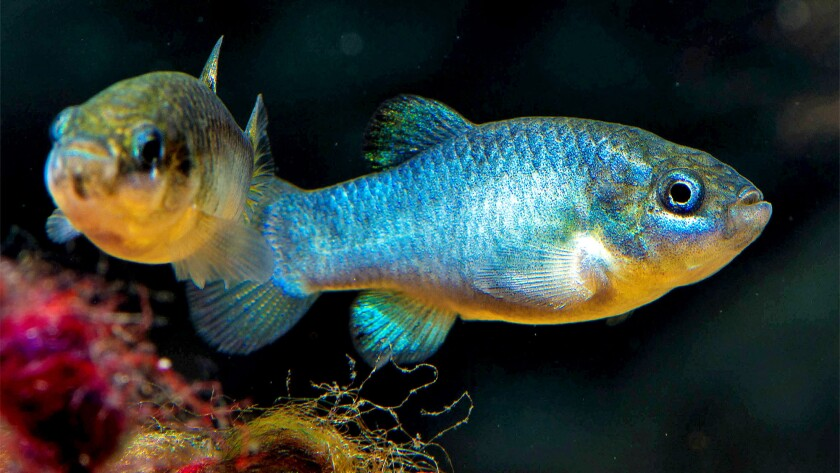 The Devils Hole pupfish were rattled by twin earthquakes near Ridgecrest.