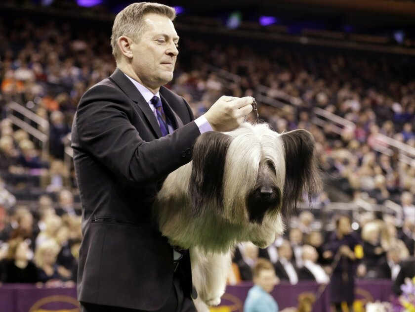File- This Feb. 17, 2015, file photo shows a handler carrying Charlie, a Skye terrier, to the judging table at the Westminster Kennel Club dog show in New York. Charlie the Skye terrier was second to retired Miss P the beagle for best in show last year will be one of the more than 2,700 dogs will b