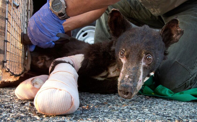 With his feet bandaged up, Cinder, a badly burned, 35 pound, female bear cub, is put into a crate before a flight from Pangborn Memorial Airport in East Wenatchee, Wash., to Lake Tahoe on Monday, Aug. 4, 2014. The bear was burned recently in a wildfire in the Methow Valley. (AP Photo/The Wenatchee World, Don Seabrook)