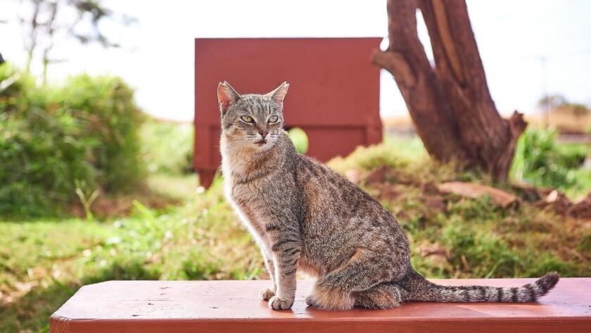 A couple hundred visitors a month travel to the island of Lanai for the purpose of interacting with the shelter's hundreds of cats.