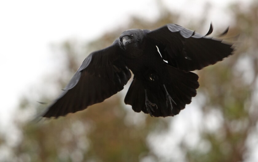 'Raven Rick' and his flock are at home with each other at Crystal Cove