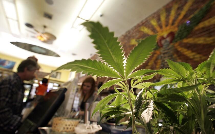 Marijuana plants for sale at a California dispensary in 2009.