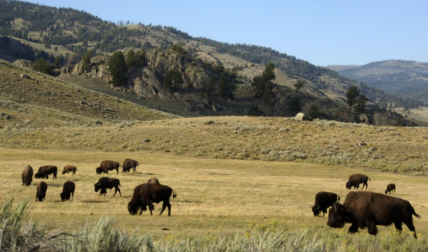 FILE - In this Aug. 3, 2016 file photo, a herd of bison graze in the Lamar Valley of Yellowstone National Park in Wyoming. One of the last and largest wild bison populations in North America has begun its migration out of Yellowstone National Park into southern Montana, where they are being hunted and will be subject to government-sponsored slaughter as part of a population reduction program. (AP Photo/Matthew Brown, File)
