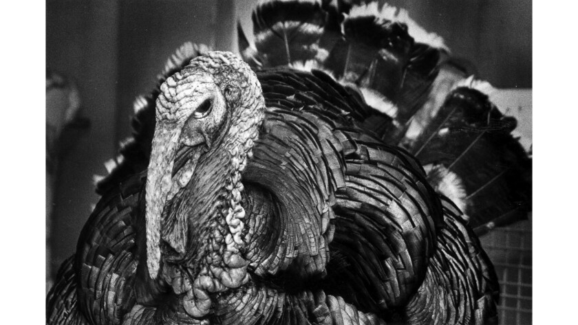 """Nov. 18, 1988: """"Big Guy"""" lives in an apartment in Burbank and is the star of a Vegetarian Society of Southern California news conference promoting meatless Thanksgiving dinners."""