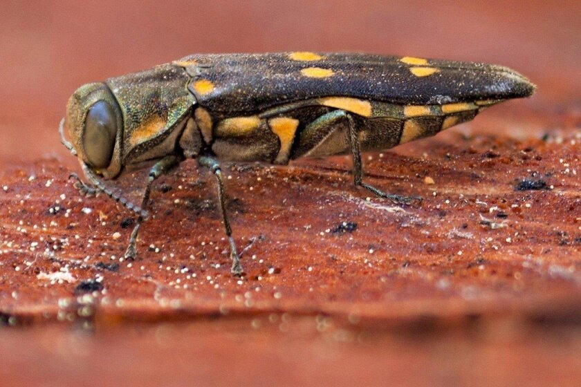 Goldspotted oak borer beetle has spread across San Diego County.