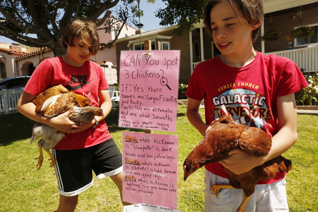 Eleven-year-old twins Canaan, left, and Caleb Rodriguez handle chickens as they visit with the Larsen family.