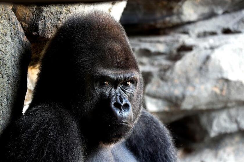 Fotografía de un gorila. EFE/Archivo